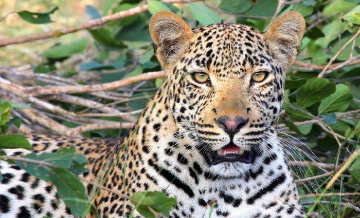 Stalking Leopards on Safari at Becks Safari Lodge
